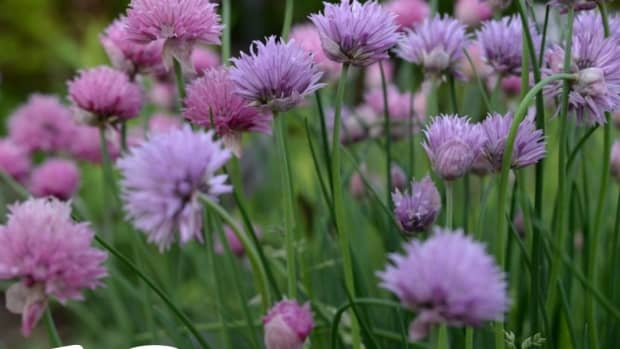 10-ways-to-use-chives