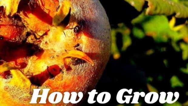 how-to-grow-medlars