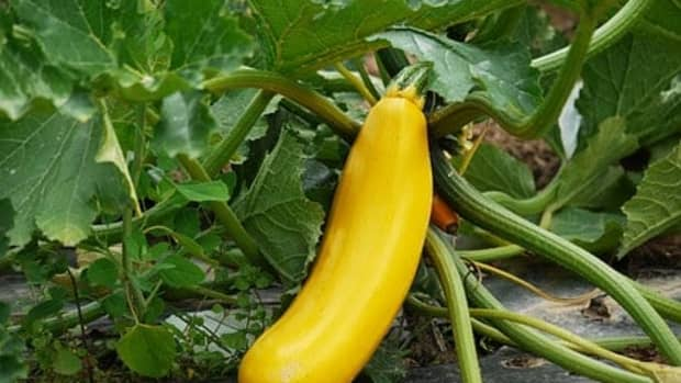 how-to-grow-squash-vertically-step-by-step-guide