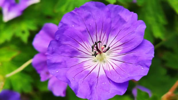 the-4-best-hardy-geraniums-for-your-garden