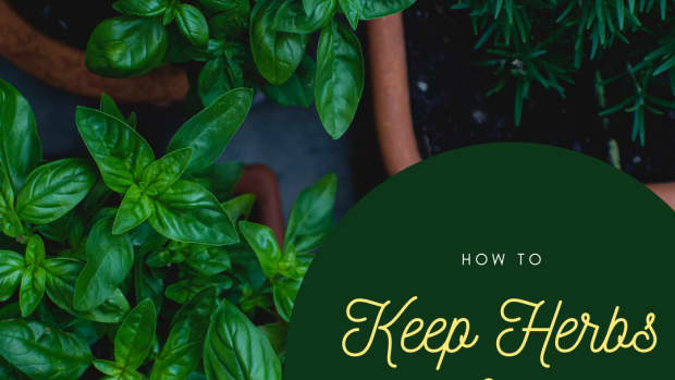bringing-herbs-indoors-for-winter-how-to-manage-herb-plants-for-winter-enjoyment