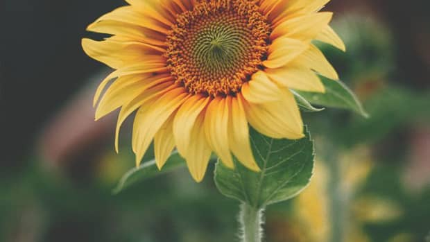 you-oh-sunflower