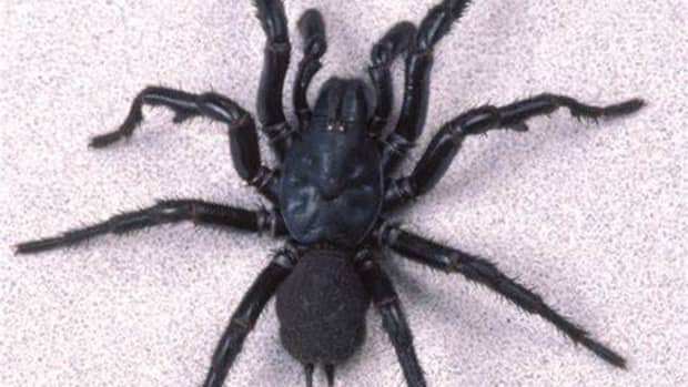 most-venomous-and-toxic-spider-species-in-the-world