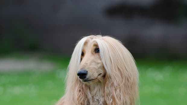 everything-you-need-to-know-about-afghan-hounds