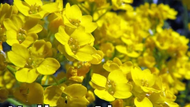 the-easiest-to-grow-perennial-in-the-world-basket-of-gold