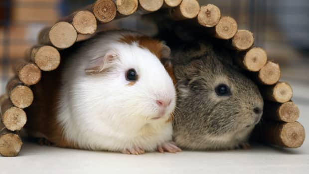 helpful-tips-to-care-for-multiple-guinea-pigs