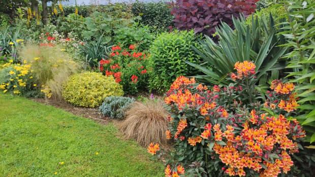 how-to-grow-gorgeous-alstroemeria-peruvian-lily