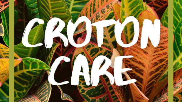 caring-for-croton-rushfoil