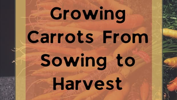 how-to-grow-carrots-from-seed