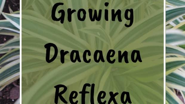 care-for-reflexa-pleo-reflexa-dracaena-pleo-reflexa-reflaxa-song-of-india-reflexa-jamaica
