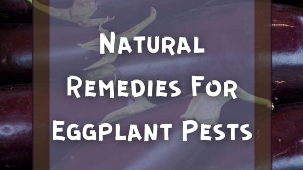 pests-of-eggplant-identification-removal
