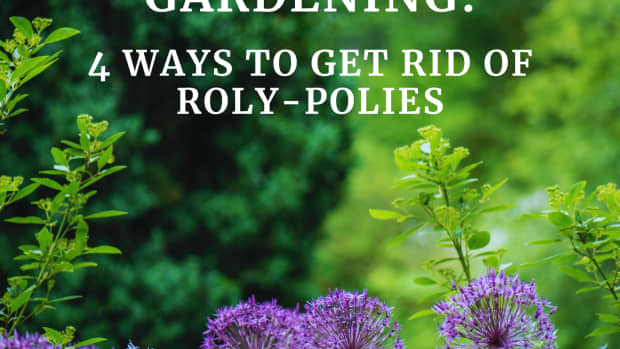 organic-garden-pest-control-4-ways-to-get-rid-of-roly-polies