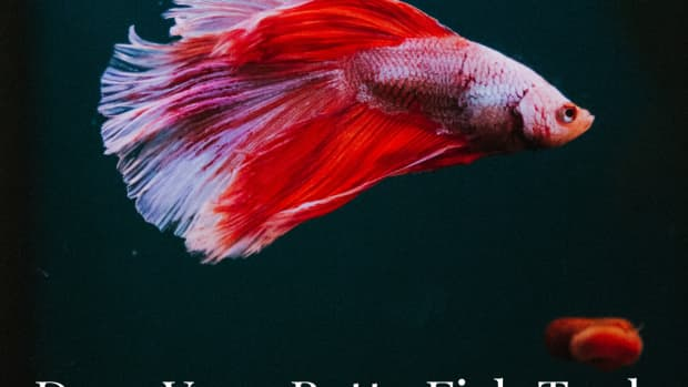 do-betta-fish-need-a-heater-and-filter-in-their-tank