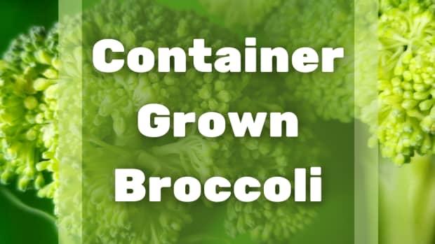 container-gardening-broccoli