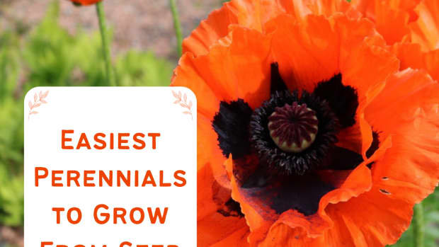 top-10-easy-perennial-plants-to-grow-from-seed
