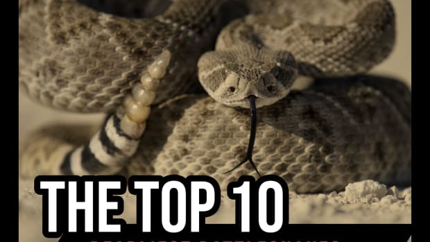 the-top-10-deadliest-rattlesnakes-in-the-world