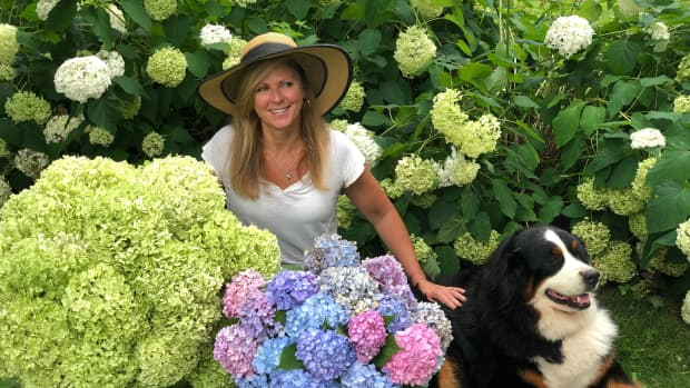 why-isnt-my-limelight-hydrangea-blooming