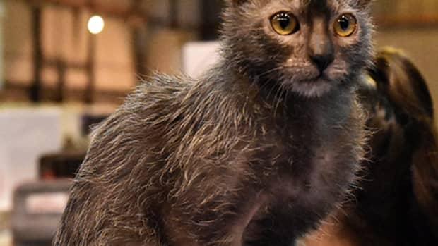 wolf-cat-lykoi