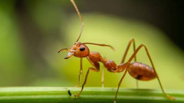 red-ants-in-florida