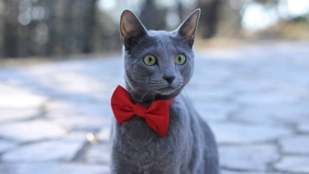 how-to-take-care-of-russian-blue-cat