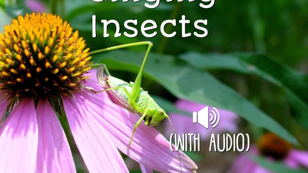 singing-insect-identification-with-audio