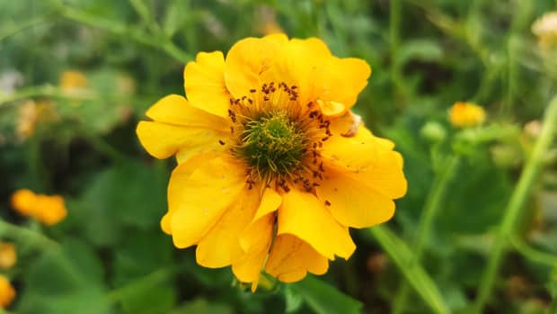 how-to-grow-geums-and-prolong-their-flowering-season