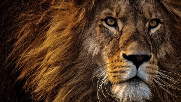 lion-the-king-of-beast
