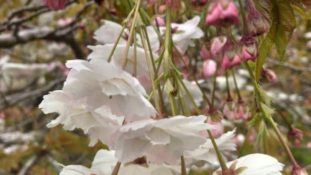 how-to-prune-a-flowering-cherry-blossom-tree