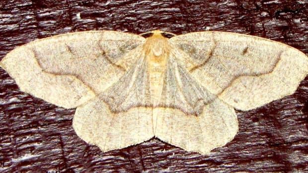 hemlock-looper-caterpillars-inchworms-and-geometer-moths