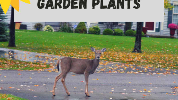 30-deer-resistant-flowers-shrubs-and-trees-for-your-garden