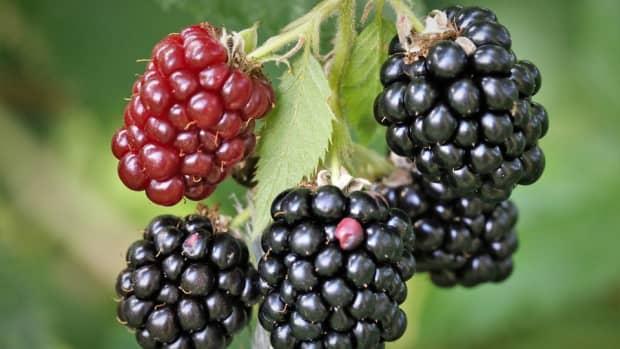 health-benefits-of-blackberry