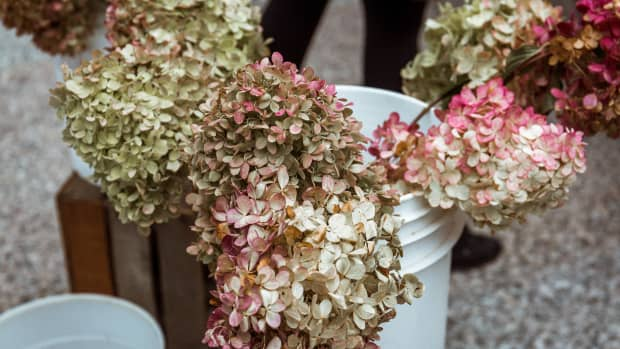 how-to-dry-and-preserve-hydrangea-blooms-naturally