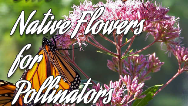 five-great-native-flowers-for-pollinator-gardens-in-northeast-ohio