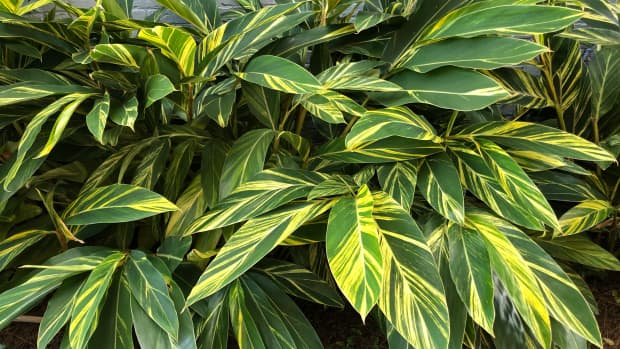 how-to-prune-variegated-ginger