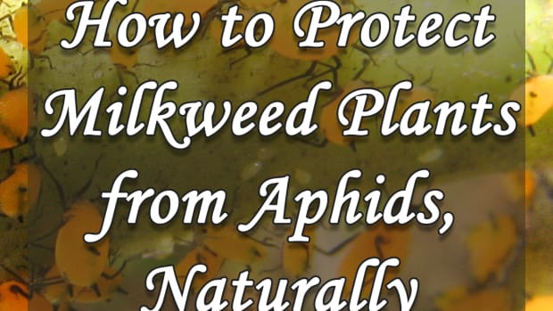 how-to-protect-milkweed-plants-from-aphids-naturally