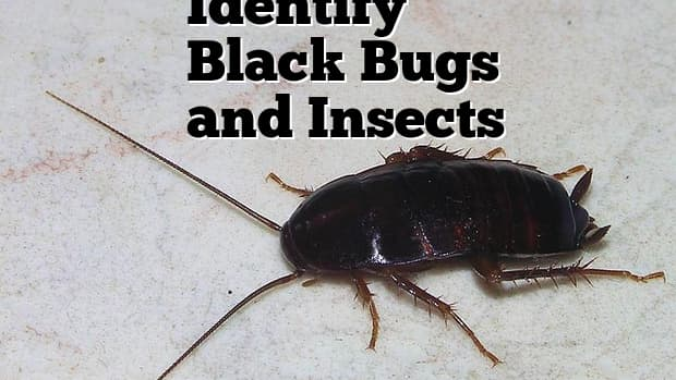 black-bug-and-insect-identification