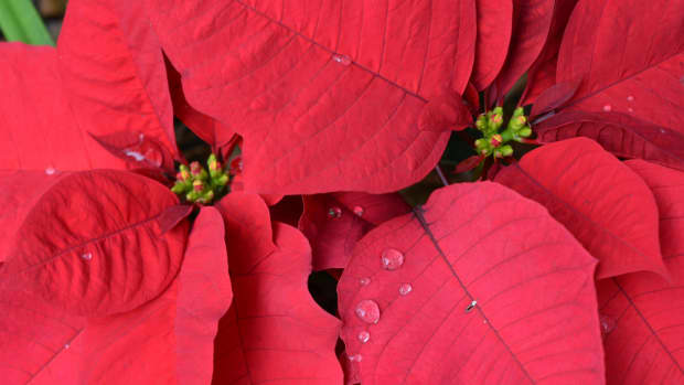 keeping-your-poinsettia-alive-after-the-holidays