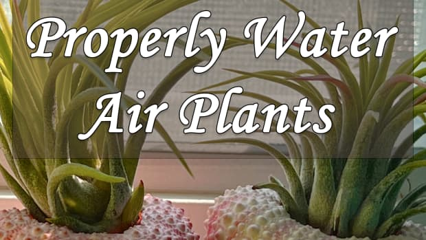 how-to-properly-water-air-plants