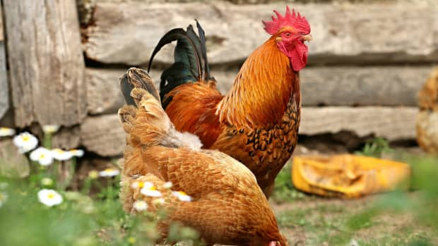 how-to-keep-free-range-chickens-out-of-your-garden