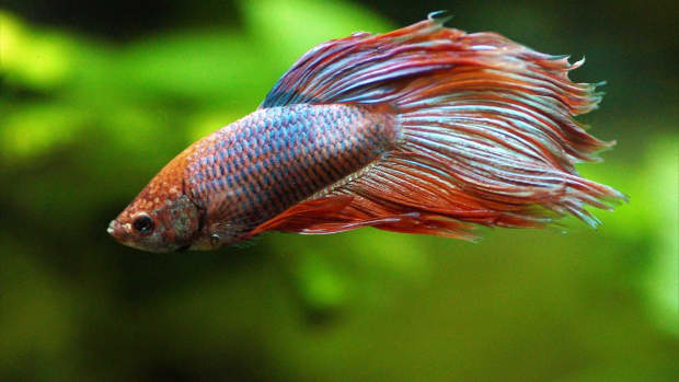 how-long-do-betta-fish-live