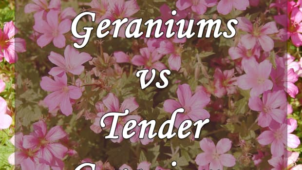 hardy-geraniums-vs-tender-geraniums-which-should-you-plant-in-your-garden