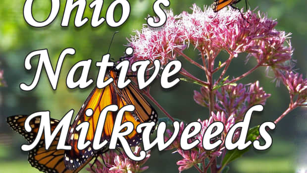 a-guide-to-ohios-13-native-milkweed-species