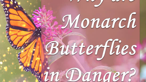 why-are-monarch-butterflies-in-danger