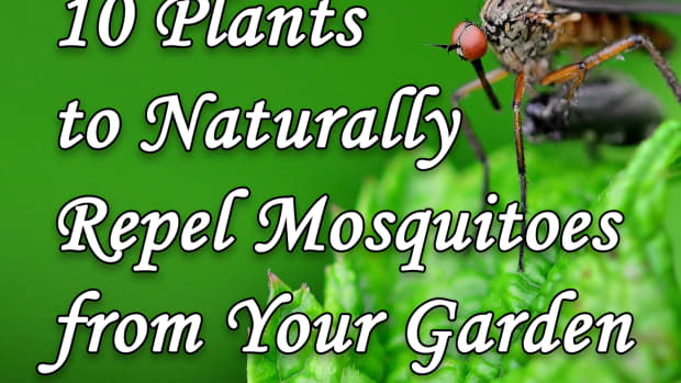 10-plants-to-naturally-repel-mosquitoes-from-your-garden
