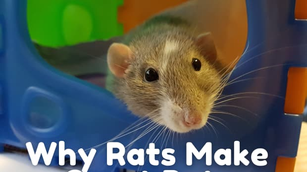 why-you-should-consider-getting-pet-rats