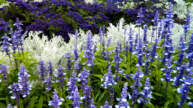 how-to-propagate-salvia-from-softwood-cuttings