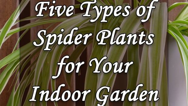 five-types-of-spider-plants-for-your-indoor-garden