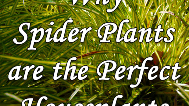 why-spider-plants-are-the-perfect-houseplants