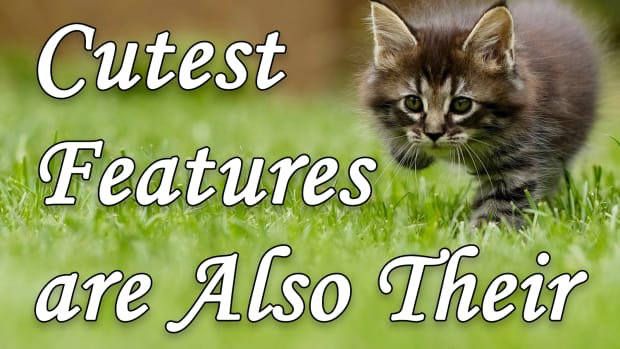 how-cats-cutest-features-are-also-their-deadliest