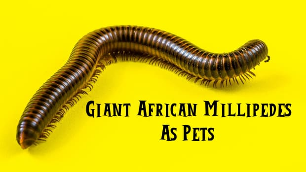 giant-african-millipedes-as-pets